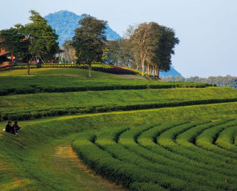 Tea Plantation in Boon Rawd Field or Singha Park, Chiang Rai Published in Chiang Rai in the Bloosom Day, Osotho Magazine, Issued : February, 2014