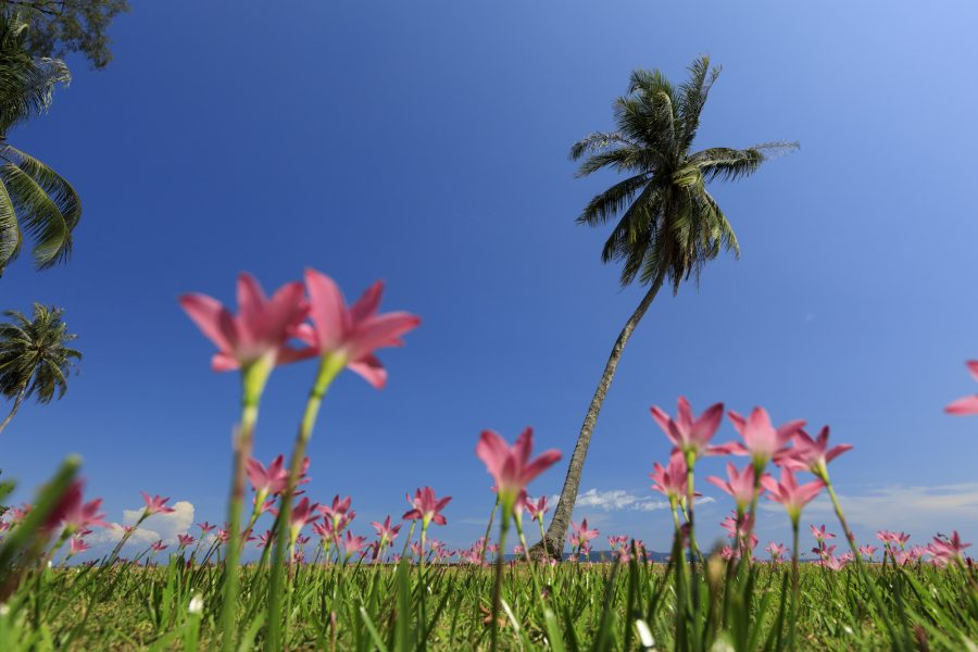 Pink rain lily at Kradat Island, Trat